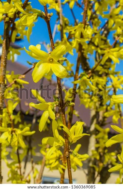 Flowering Bushes Spring Austria Flowers Yellow Stock Photo Edit