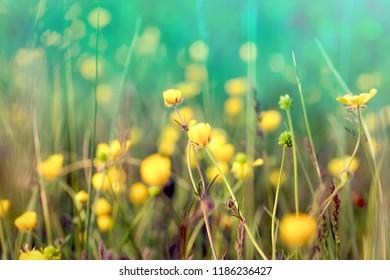 Flowering buttercup, flowering yellow flower in meadow