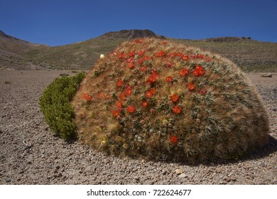 Flowering cacti (Cumulopuntia boliviana) high on the Altiplano of northern Chile in Lauca National Park.