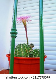Flowering Cactus behind bars on Window sill