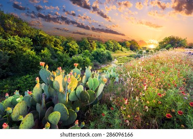 Flowering cactus and Indian blanket wildflowers at sunset in Texas