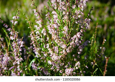 Flowering calluna vulgaris in forest at sunlight