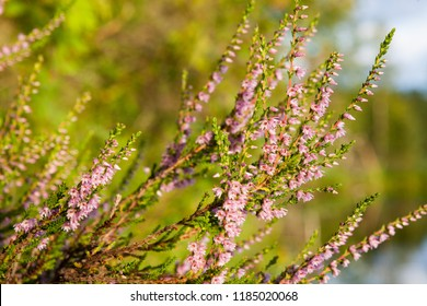 Flowering calluna vulgaris at sunlight