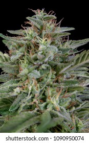 flowering cannabis plant
