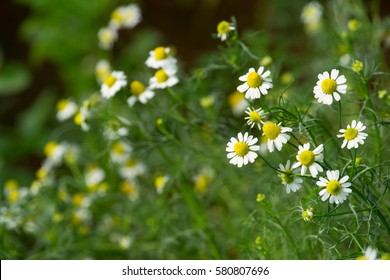 Flowering. Chamomile. Blooming chamomile field, Chamomile flowers on a meadow in summer, Selective focus