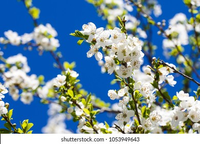 Flowering cherry against a blue sky. Cherry blossoms. Spring background.