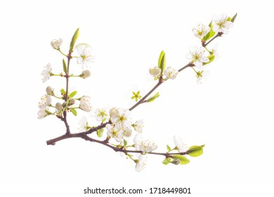 Flowering cherry branch isolated on a white background.