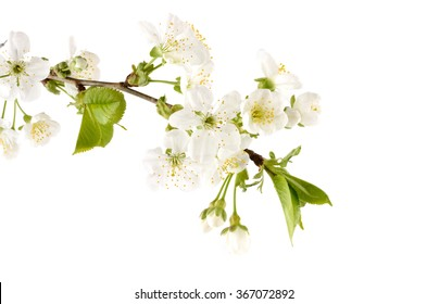 Flowering cherry branch isolated on white. Symbols of judaic holiday Tu Bishvat