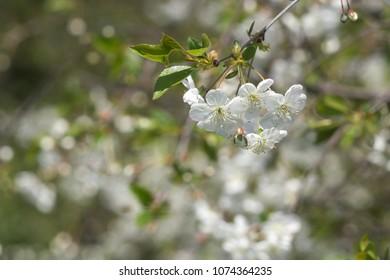 flowering cherry. closeup. Beautiful bokeh