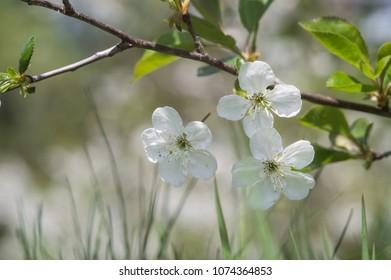 flowering cherry. closeup. Beautiful bokeh. view from the ground
