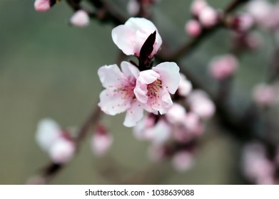 Flowering Cherry in Spring, buds and blossoms. close-up