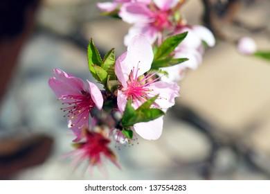 flowering cherry tree / cherry tree