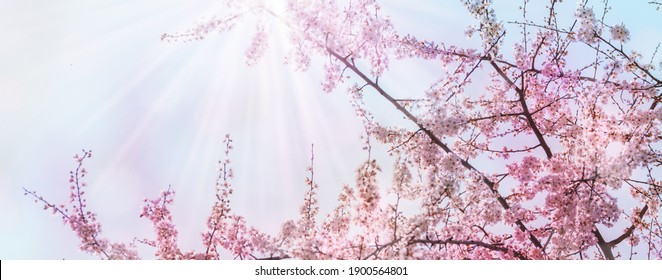 flowering cherry tree from below against blue sky, pink flower landscape during spring awakening