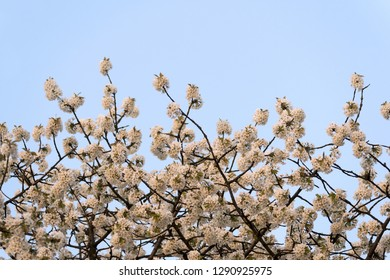 A flowering cherry tree and the blue sky in spring