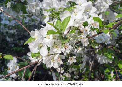 Flowering cherry tree branch on blurred background