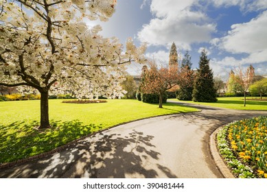 A flowering Cherry tree in Cathays Park, Cardiff CIty Center, Wales.