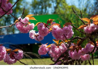 Flowering Cherry Tree with Pink Blooms