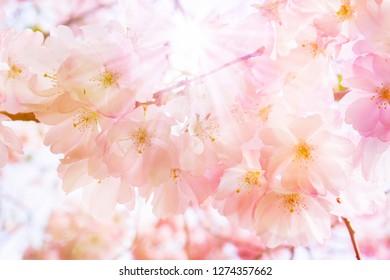 flowering cherry tree in sunny springtime