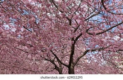 Flowering cherry trees