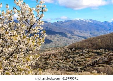 Flowering of the cherry trees. Jerte Valley. Spain
