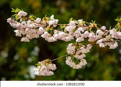 Flowering cherry trees on the Oregon State University Campus in Corvallis, Oregon, Corvallis, Oregon