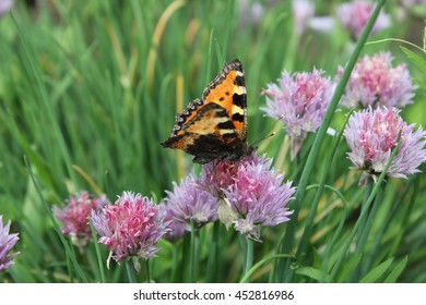 Flowering chives and butterfly in the garden