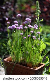 flowering chives in a crock