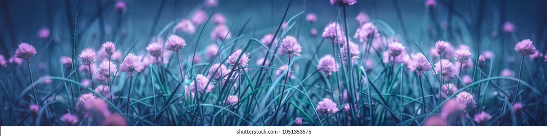 Flowering chives.Natural background of purple onion flowers