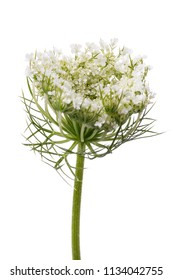 Flowering of cilantro. Branch of plant isolated on a white background