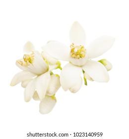 blühende Zitrusfrüchte. Frühling. weiße, frisch orangefarbene Blumen einzeln auf weißem Hintergrund
