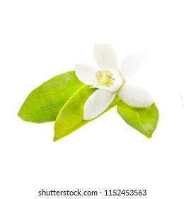 flowering citrus. Spring. white fresh orange tree flowers and young green leaves isolated on white background