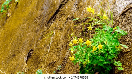 Flowering Columbine plants in the Hanging Gardens on the Sandstone Mountains on the Riverside Walk in Zion National Park, Utah, United Sates