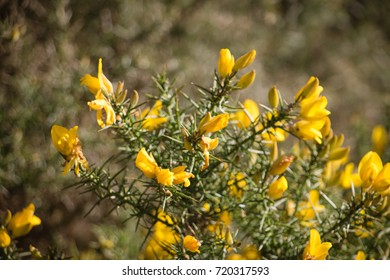 Flowering common gorse ulex europaeus spiky stock photo royalty flowering common gorse ulex europaeus a spiky thorn covered plant with bright yellow mightylinksfo Gallery