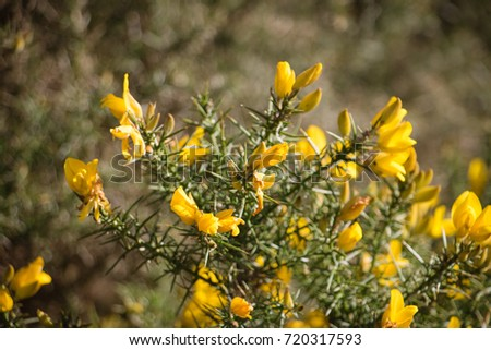 Flowering common gorse ulex europaeus spiky stock photo edit now flowering common gorse ulex europaeus a spiky thorn covered plant with bright yellow mightylinksfo