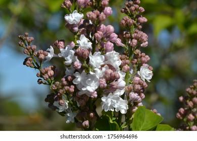 Flowering Common Lilac 'Krasavitsa Moskvy' (Syringa vulgaris)