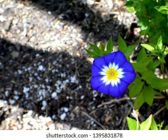 Flowering Convolvulus tricolor Blue Ensign