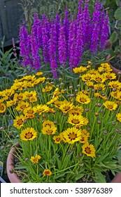 Flowering Coreopsis and Lythrum virgatum 'Dropmore Purple' in a cottage garden