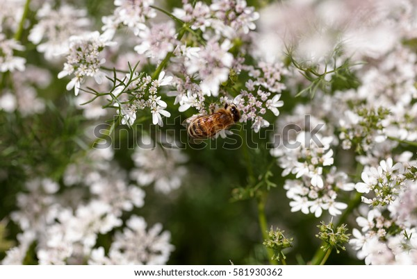 Flowering coriander close up