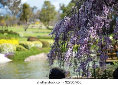 Flowering Crab Apple tree. Japanese Gardens in Cowra