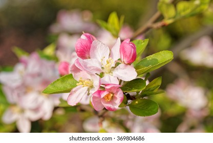flowering crabapple, Malus halliana, or Begonia, flowers Chinese characteristics