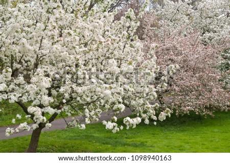 Flowering Crabapple Trees Malus White Angel Stock Photo Edit Now