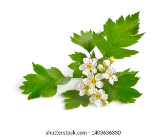 Flowering Crataegus, commonly called hawthorn, quickthorn, thornapple May-tree whitethorn or hawberry. Isolated on white