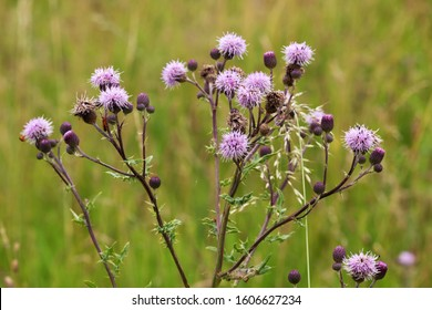 Flowering creeping thistle (Cirsium arvense, also Canada thistle or field thistle). The creeping thistle is considered a noxious weed in many countries.