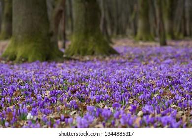 Flowering of crocus in Carpathian mountains