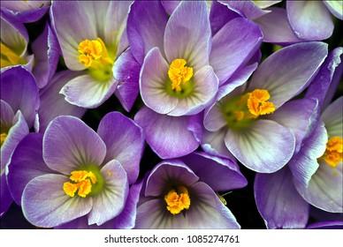 Flowering  crocuses in spring