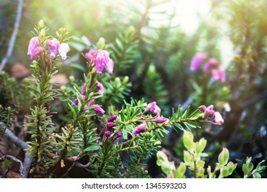 Flowering crowberry (Empetrum nigrum) from the plateau ( fjeld, tunturi) of Northern Scandinavia