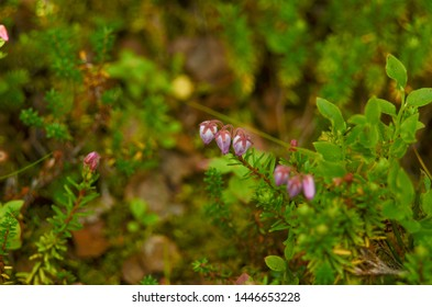 Flowering crowberry Empetrum nigrum from the plateau fjeld, tunturi of Northern Scandinavia