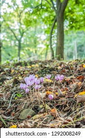 flowering of cyclamens,  cyclamens in the meadow, spring blooms,