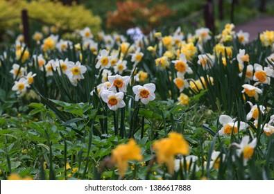 Flowering daffodils. Pharmaceutical garden. Moscow. Festival of spring flowers.