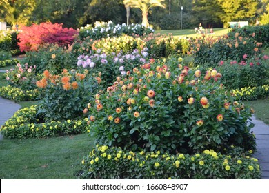Flowering Dahlia Field in Summer Time